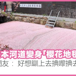 日本河道變身櫻花地毯