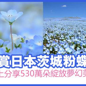 日本茨城粉蝶花