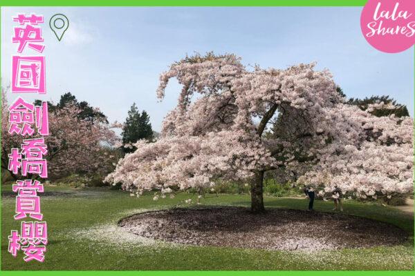 英國劍橋櫻花