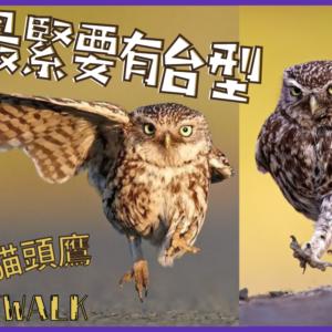 可愛野生貓頭鷹